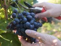 Sezonowa praca Holandia od zaraz przy zbiorach winogron bez języka 2019 Beek