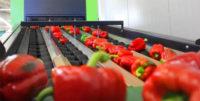 Rotterdam praca w Holandii na produkcji przy sortowaniu-pakowaniu warzyw