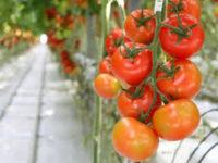 Oferta sezonowej pracy w Holandii przy zbiorach pomidorów i ogórków od zaraz, Venlo