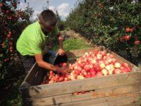 Oferta sezonowej pracy w Holandii bez języka – zbiory jabłek 2019, Nijmegen