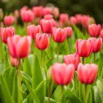 Bez języka oferta fizycznej pracy w Holandii przy układaniu bukietów kwiatowych od zaraz, Bleiswijk