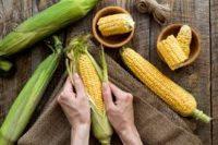 Oferta fizycznej pracy w Holandii bez języka – obieranie kukurydzy Kessel