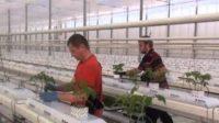 Od zaraz praca w Holandii w ogrodnictwie bez języka przy kwiatach doniczkowych, Venlo