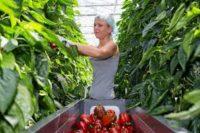 Ogrodnictwo praca Holandia od zaraz przy papryce w szklarni, Zwaag