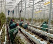 Likwidacja szklarni – dam pracę w Holandii w ogrodnictwie od zaraz, Erica