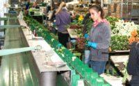 Bez języka Holandia praca fizyczna od zaraz – ręczne układanie bukietów kwiatowych, De Kwakel