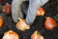 Holandia praca od zaraz w ogrodnictwie bez języka przy sadzeniu cebulek tulipanów, Stompetoren