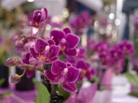 Ogrodnictwo praca w Holandii od zaraz przy kwiatach bez języka w Poeldijk 2020