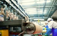 Dla par oferta pracy w Holandii na produkcji bez języka przy kurczakach w Doetinchem 2020