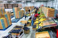 Sortowanie owoców-warzyw Holandia praca fizyczna bez języka dla każdego, Venlo