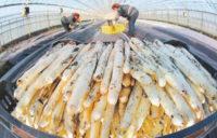 Oferta sezonowej pracy w Holandii od kwietnia 2020 przy zbiorach szparagów bez języka Venlo