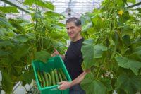 Bez języka dam sezonową pracę w Holandii przy zbiorach ogórków szklarniowych od zaraz, Venlo – Limburgia