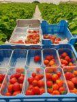 Zbiory truskawek Holandia praca sezonowa bez języka od zaraz bezpośrednio z zakwaterowaniem, Breda