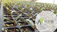 Bez języka Holandia praca w ogrodnictwie przy sadzonkach od zaraz w szklarni z Lottum 2020