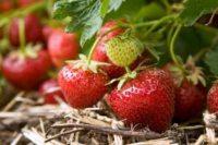 Sezonowa praca Holandia 2020 przy zbiorach ogórków, truskawek, szparagów, kwiatów 2020