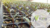 Ogrodnictwo praca Holandia dla kobiet przy sadzonkach k. Lottum 2020