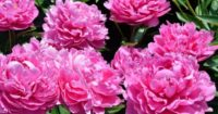 Rolnictwo praca sezonowa w Holandii – ścinanie kwiatów piwonii w Sint Hubert