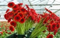 Holandia praca bez języka w ogrodnictwie pielęgnacja kwiatów w Poeldijk od zaraz