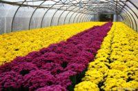 Praca Holandia w szklarni przy kwiatach od zaraz w ogrodnictwie bez języka, Poeldijk 2020