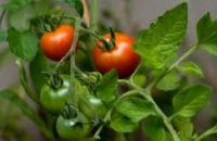 Ogrodnictwo praca w Holandii w szklarni od zaraz przy pomidorach, papryce, bakłażanach Breda