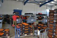 Bez języka oferta pracy w Holandii od zaraz przy pakowaniu owoców cytrusowych i warzyw, Haga