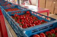 Fizyczna praca w Holandii bez języka – sortowanie pomidorów, Goes
