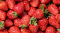 Holandia praca sezonowa przy zbiorach truskawek od zaraz w Roosendaal z j. angielskim