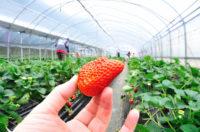 Bez języka sezonowa praca Holandia 2020 przy zbiorach truskawek szklarniowych od zaraz k. Venlo