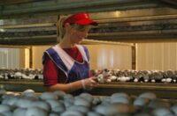 Od zaraz Holandia praca sezonowa przy zbiorach pieczarek i pakowaniu, Hoogeveen 2020