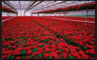 Praca w Holandii od zaraz w ogrodnictwie – szklarnia z kwiatami, Westland