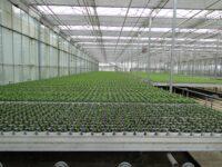 Ogrodnictwo oferta pracy w Holandii od zaraz przy sadzonkach i zbiorach w szklarni, Venlo