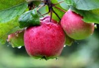 Sezonowa praca w Holandii bez języka przy zbiorach jabłek i gruszek k. Steenbergen od zaraz
