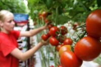 Pracownik szklarni zbiór pomidora oferta sezonowej pracy w Holandii 2020