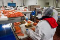 Praca Holandia bez języka na produkcji przy obróbce wędzonej ryby, Volendam