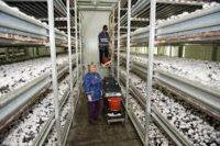 Zbiory pieczarek oferta sezonowej pracy w Holandii od zaraz, Zijtaart 2020
