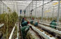Likwidacja szklarni Holandia praca fizyczna bez języka w ogrodnictwie, Horst