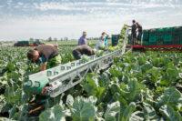 Holandia praca sezonowa w Emmeloord bez języka zbiory kapusty od zaraz