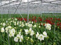 Praca Holandia w ogrodnictwie przy kwiatach – zbiory, ścinanie amarylisów, Westland