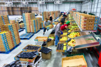 Holandia praca fizyczna od zaraz w Hadze bez języka przy sortowaniu i pakowaniu owoców-warzyw