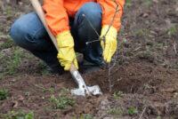 Ogrodnictwo od zaraz oferta pracy w Holandii w szkółce drzewek bez języka, Biezenmortel