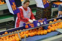 Bez znajomości języka praca Holandia od zaraz przy pakowaniu owoców w Hadze