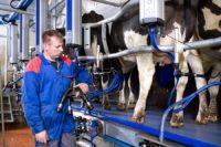 Dojarz krów praca w Holandii w rolnictwie od zaraz, Etten-Leur