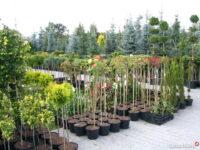 Pracownik szkółki drzewek Holandia praca w ogrodnictwie 2021 Hoogeloon