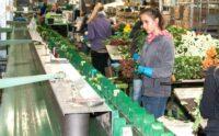 Praca Holandia przy pakowaniu-przepakowywaniu kwiatów w Honselersdijk
