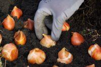 Sadzenie tulipanów Holandia praca od zaraz bez języka w ogrodnictwie 2021, Abbenes