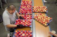 Sortowanie owoców i warzyw bez języka dam pracę w Holandii od zaraz, Haga 2021