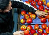Holandia praca fizyczna od zaraz bez języka sortowanie owoców na hali, Venlo