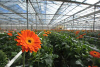 Praca Holandia od zaraz w ogrodnictwie przy kwiatach-gerberach w Delfgauw 2021