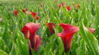 Bez języka praca Holandia w ogrodnictwie przy kwiatach od kwietnia 2021 Almere