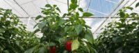 Ogrodnictwo praca Holandia od zaraz bez języka okręcanie papryki szklarniowej, Egchel